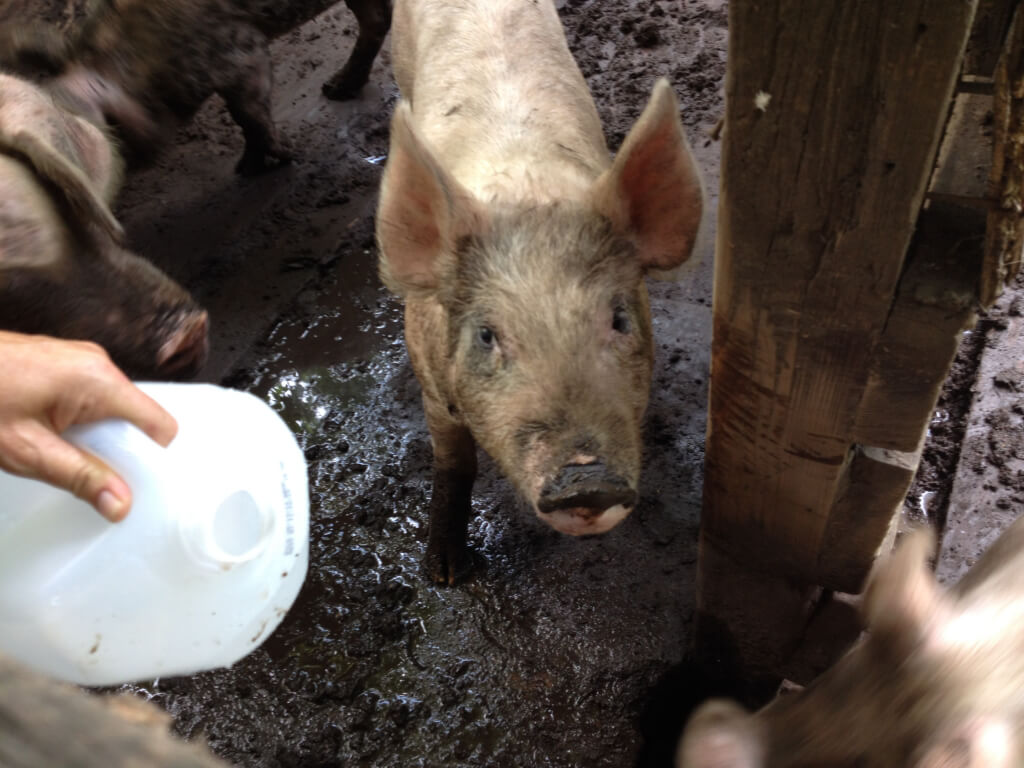 Pigs in Filthy Enclosure