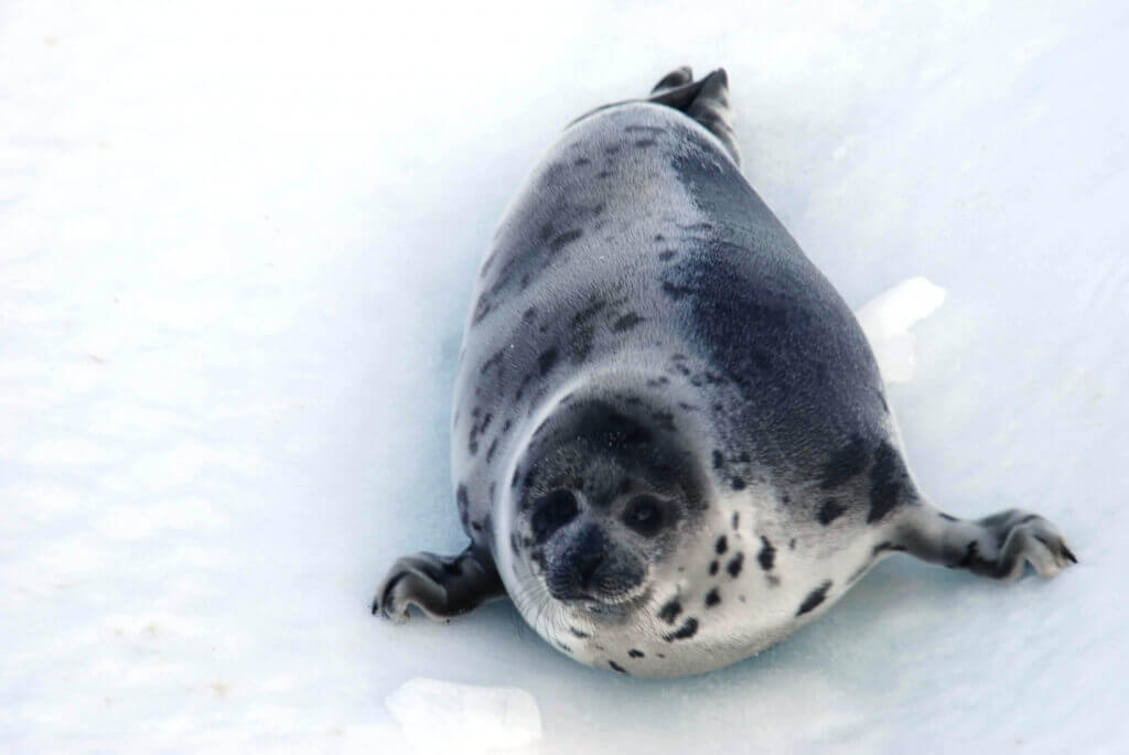 Canadian Seal Slaughter