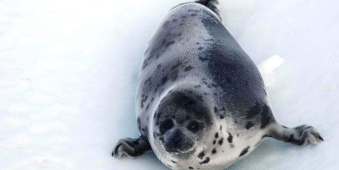 Top European Court Upholds Ban on Seal Imports