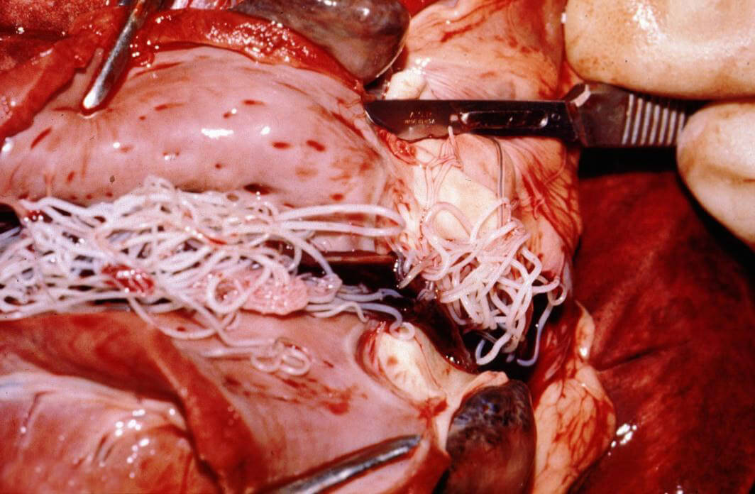 "canine heartworm disease Canine heartworm disease heartworm disease is a serious and potentially fatal disease caused by worms called dirofilaria immitus these worms are ""spaghetti-like"", grow up to 12″ long, and reside in the heart."