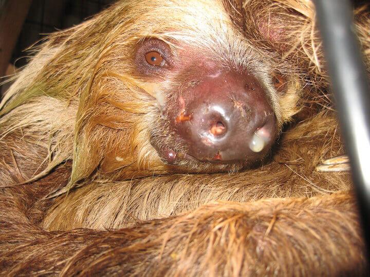 A diseased sloth.