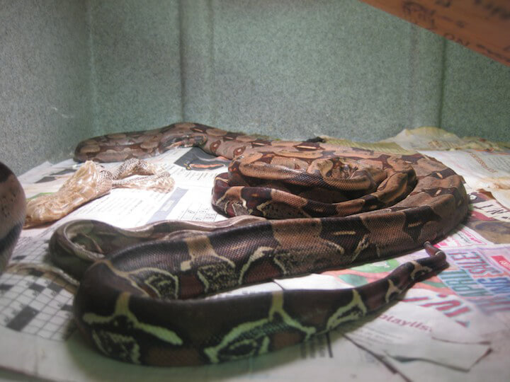 Two emaciated red-tail boas in sparse and under-stimulating conditions.