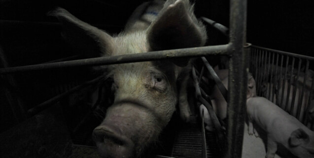 A Sad Mother Pig in a Farrowing Crate on a Factory Farm
