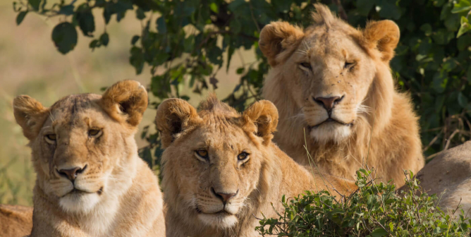 Hunting Outfit Has Buy-One-Get-One-Free Deal on Lions—Help PETA End It