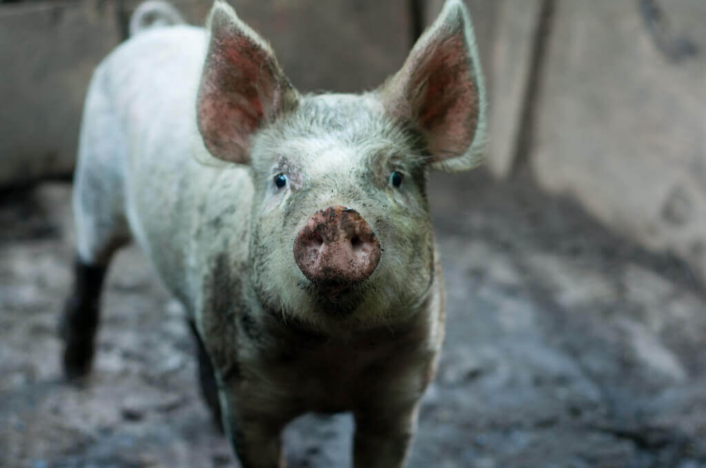Pig with Dirt on Face