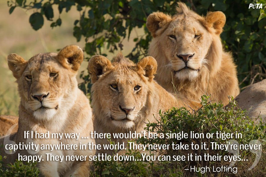 PETA-Aquarium-Feature-Quote-01-lions