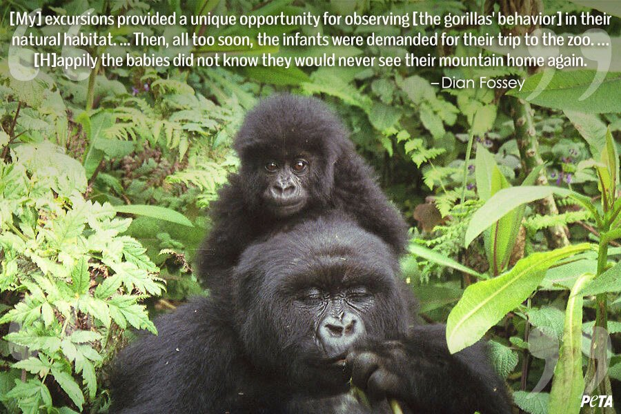 PETA-Aquarium-Feature-Quote-04-gorillas
