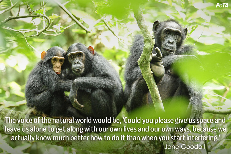 PETA-Aquarium-Feature-Quote-06-chimps