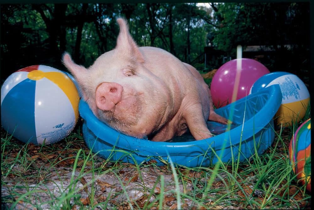 A Happy Pig Lying in a Kiddie Pool