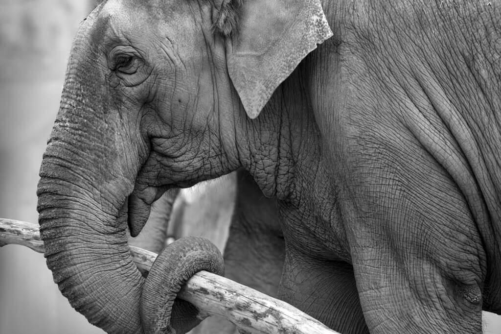 Working Asian Elephant