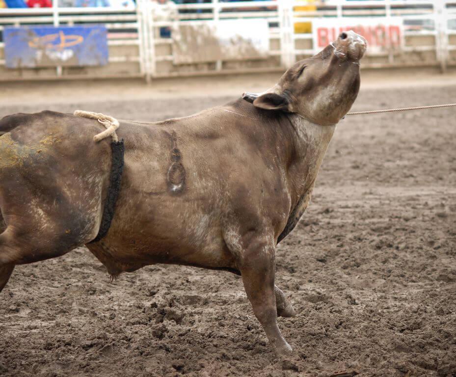 A Bull Wearing a Bucking Strap