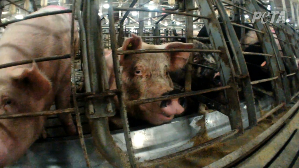 A Mother Pig in a Gestation on a Factory Farm