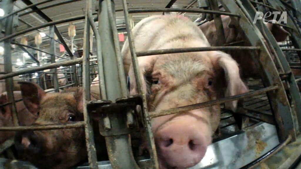 A Mother Pig in a Gestation Crate on a Factory Farm