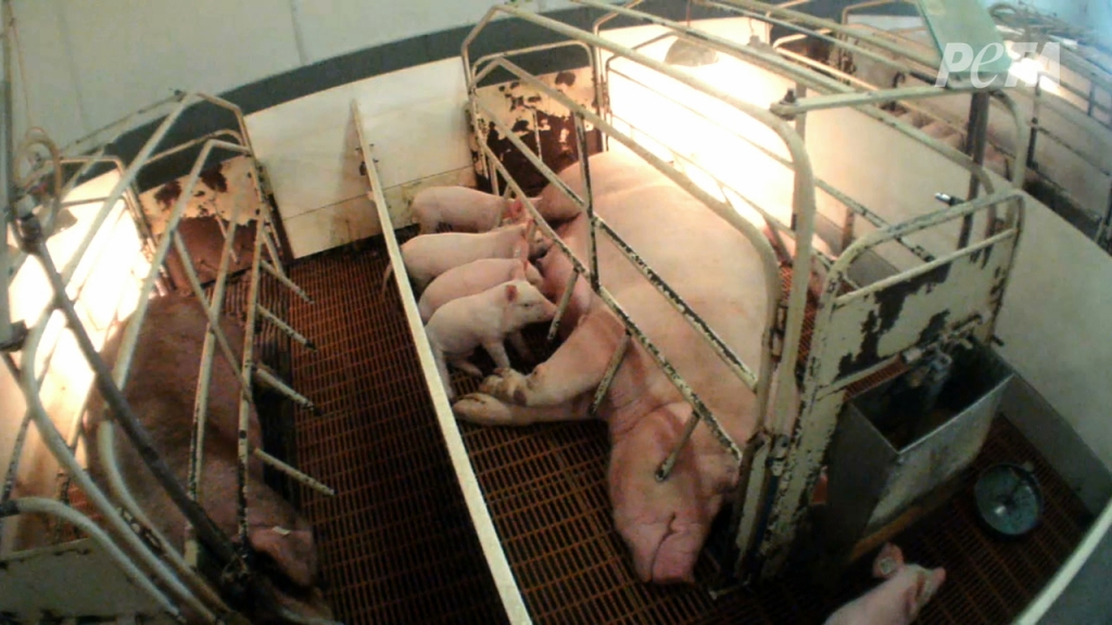 Mother Pig in a Farrowing Crate in a Factory Farm