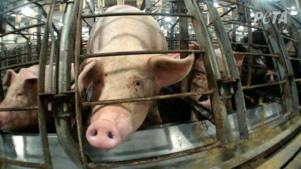 pig cage filthy farm