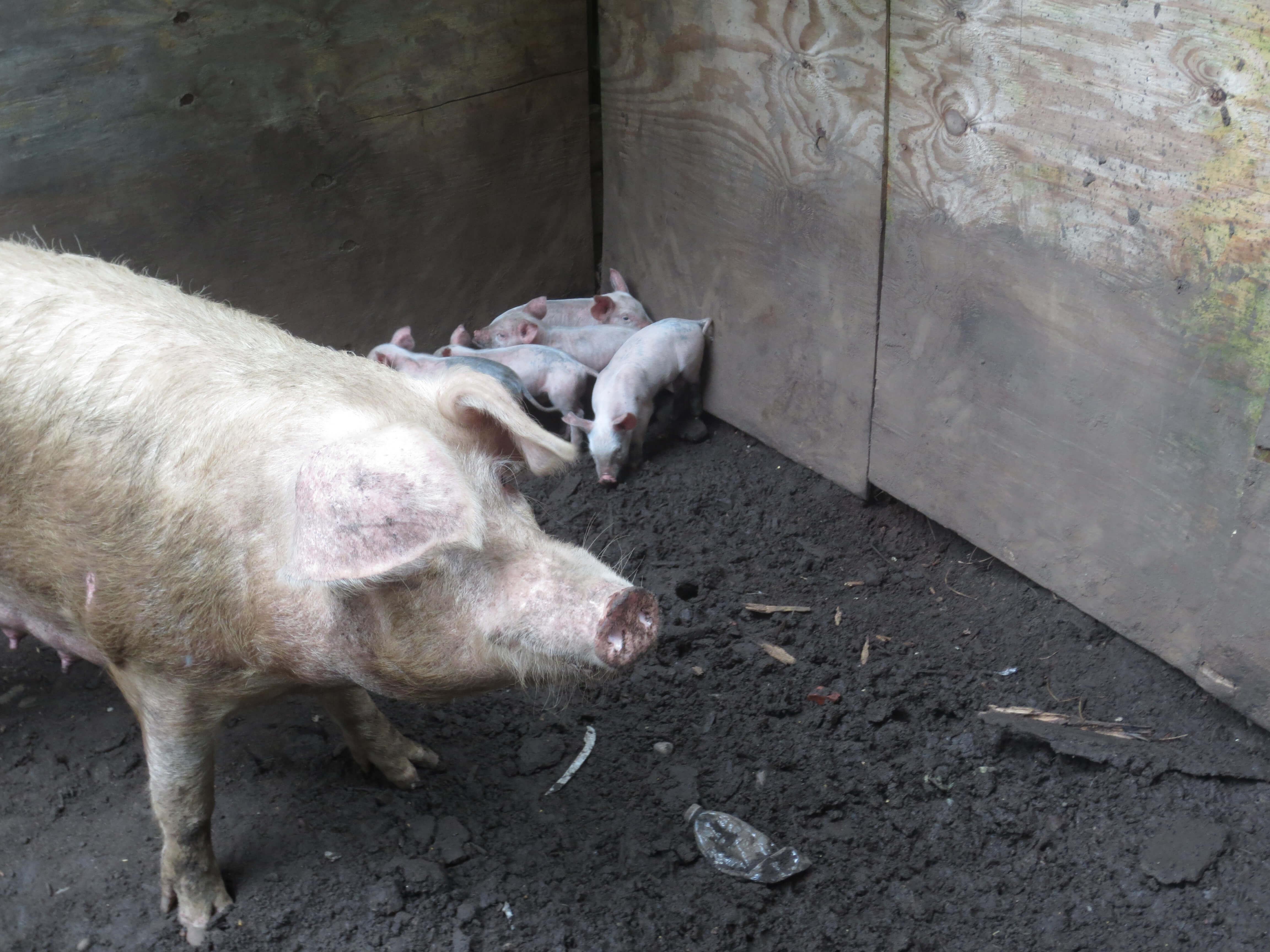 103 Governors Street, Lewiston MISC 7.10.14 JC -KK -Pigs (15)