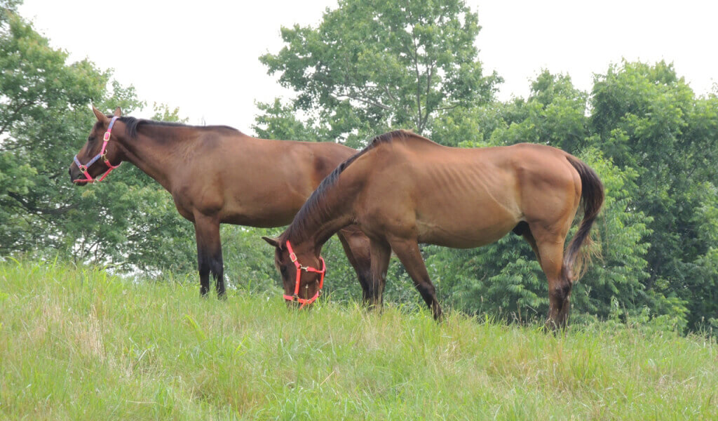 Rescued Horses Henry and Caroline in Their New Home