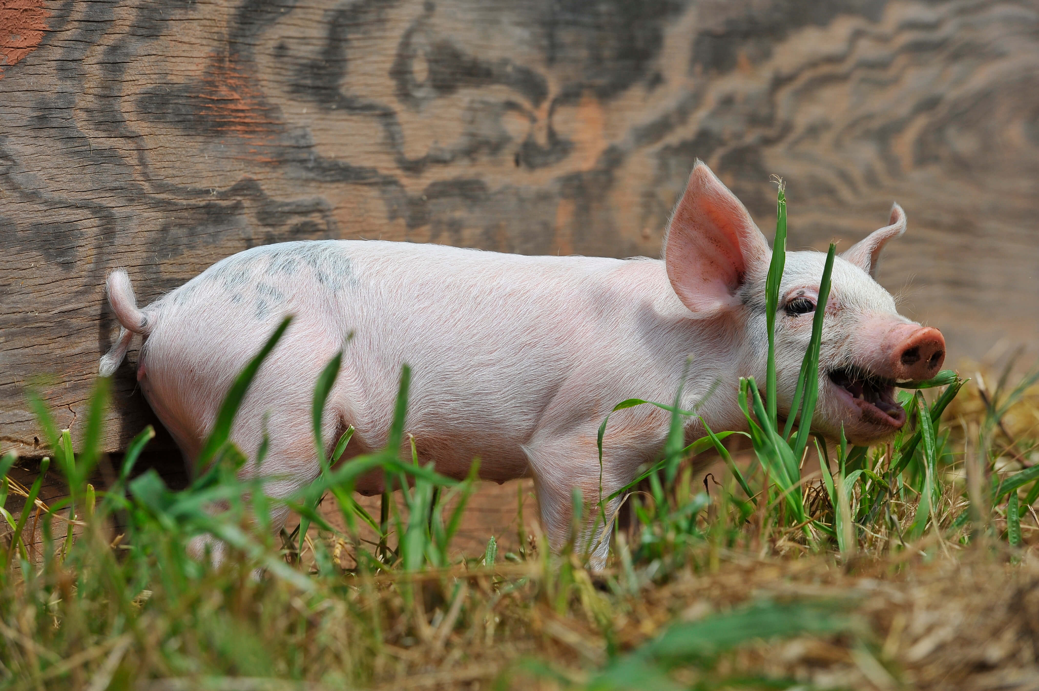 piglets rescued first photos peta