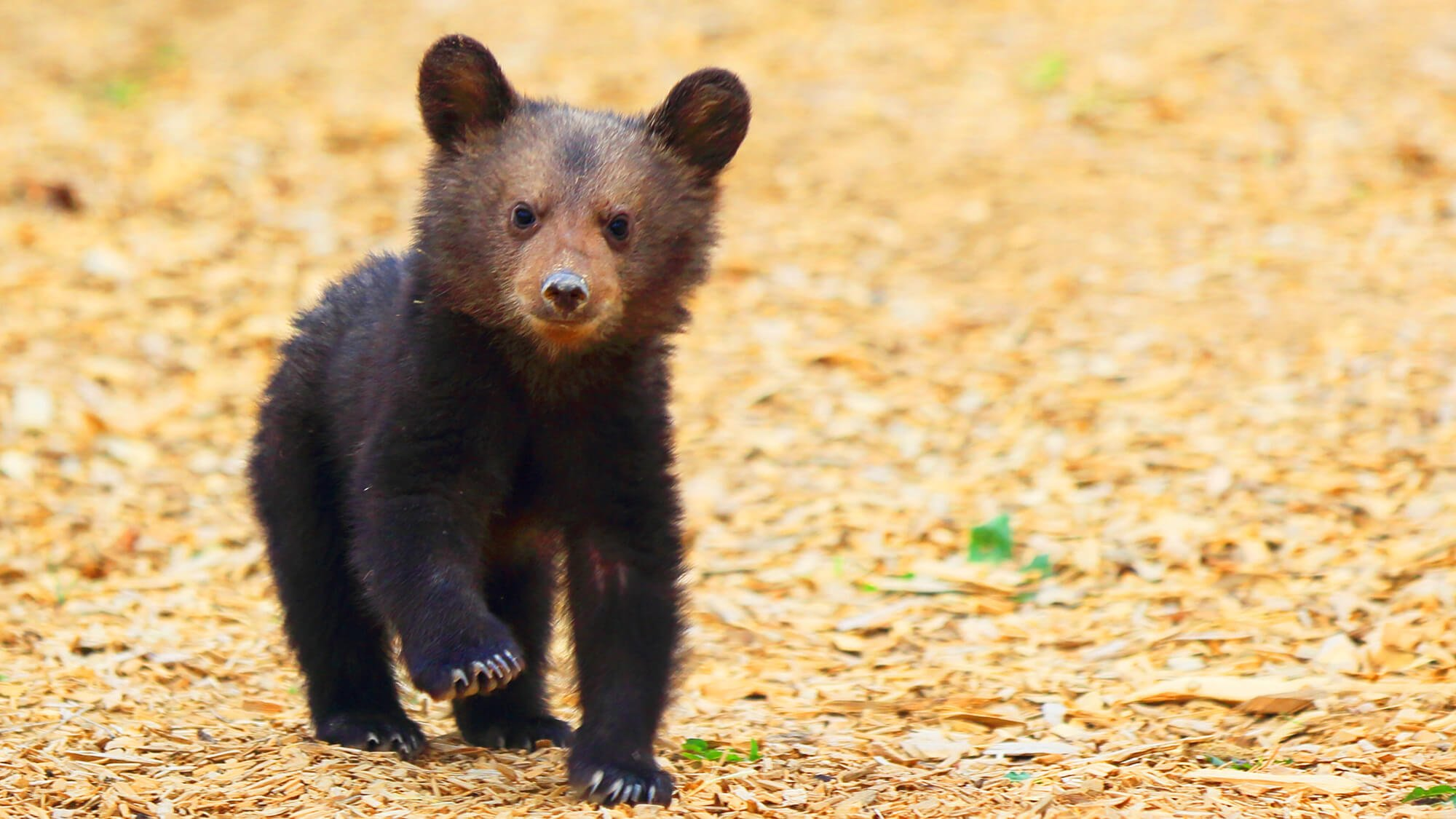 14 pictures of the cutest bear cubs you ll ever see peta