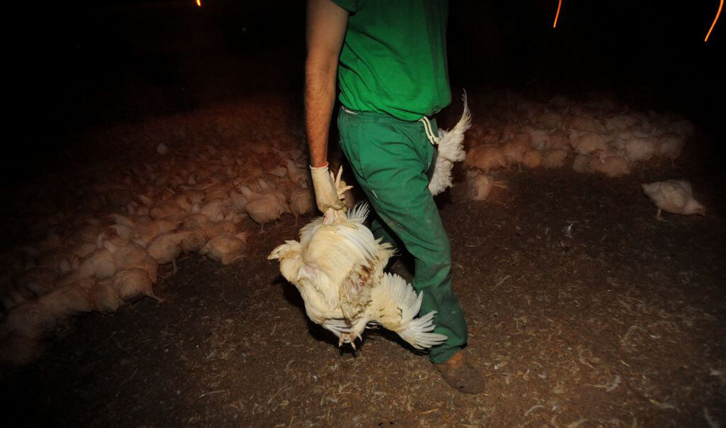 Chickens Caught for Transport