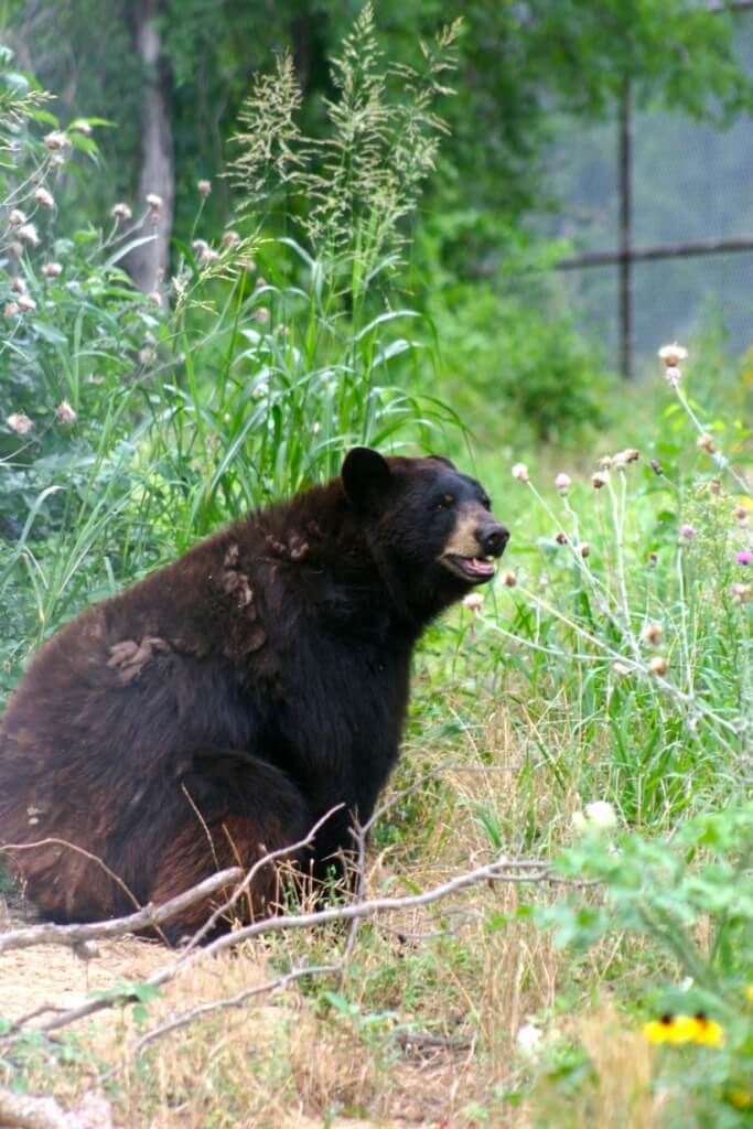 Chief Saunooke Bears One Year After Rescue