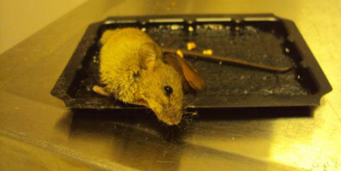 Urge Ace Hardware, BMR, Starcrest, and Others to Stop Selling Glue Traps!