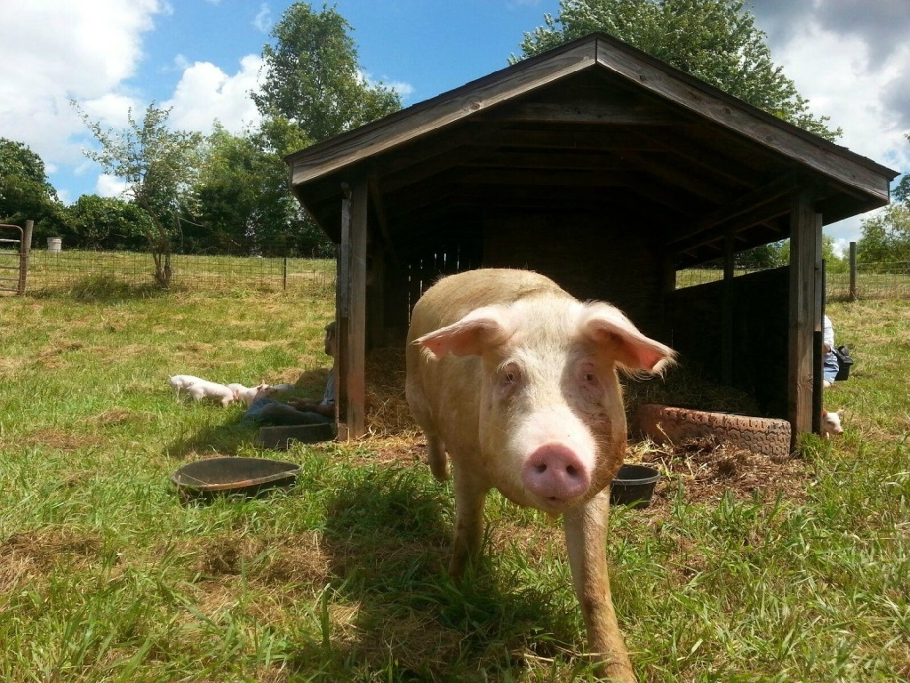 Rescued NC Pig and Piglets in New Home