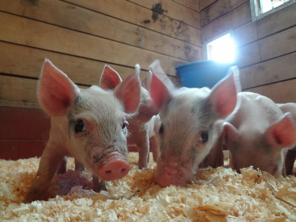 piglets_after_2