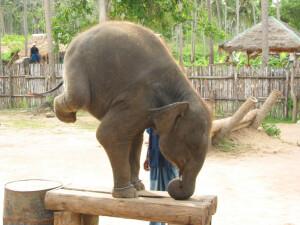 thailandelephant