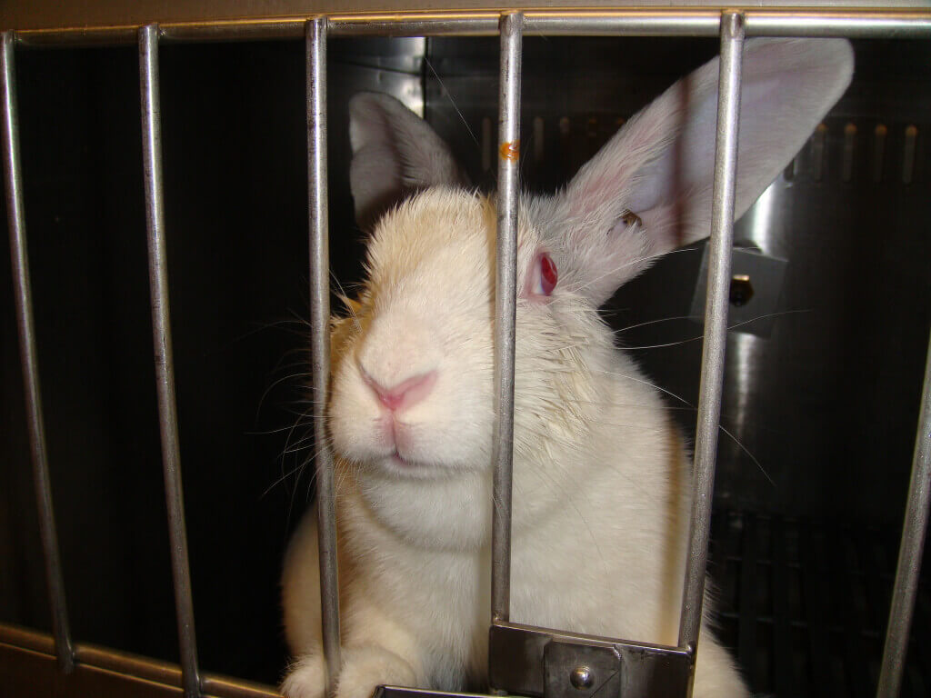 Sad Rabbit in Lab
