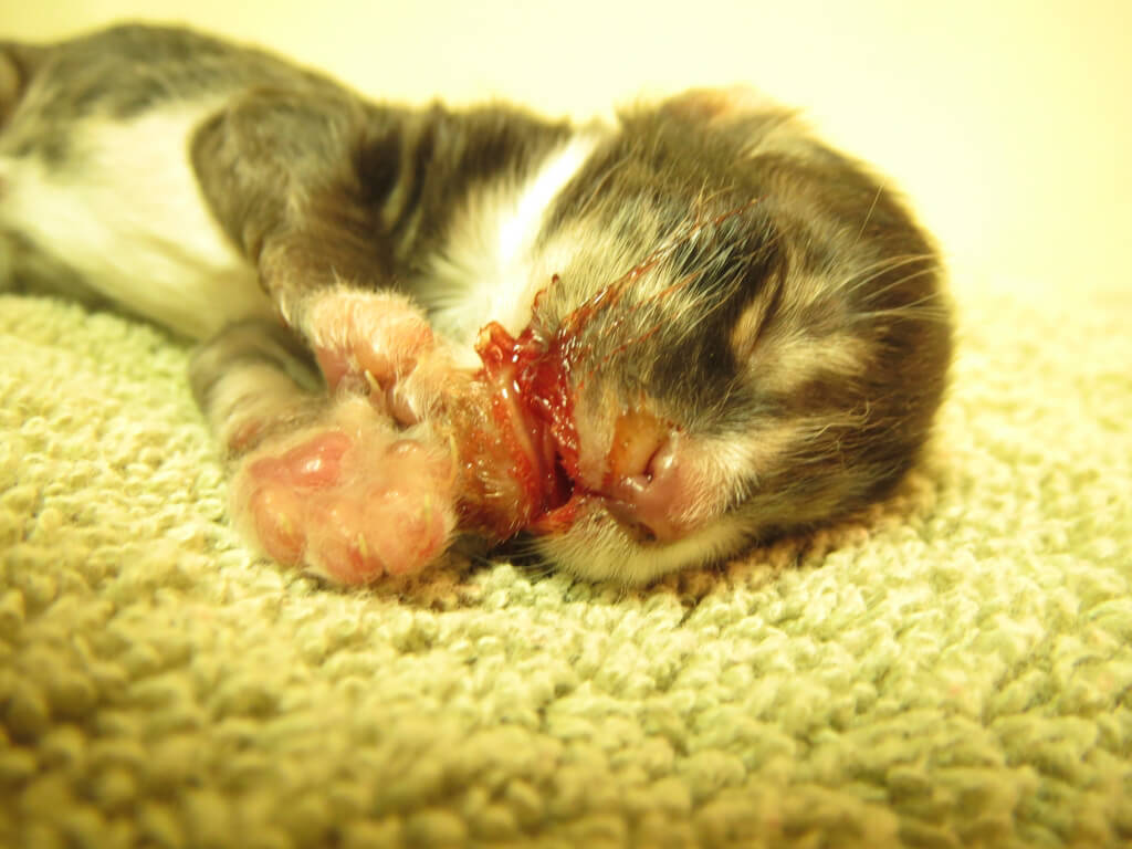 Kitten Bleeding From Mouth {graphic