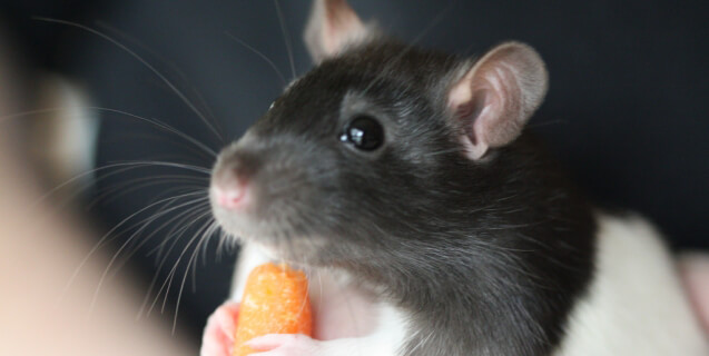 Rat Eating Carrot