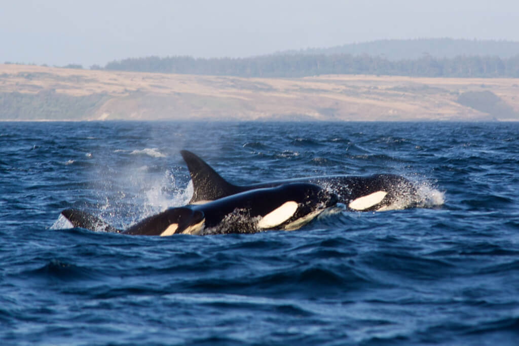 A Family of Orcas
