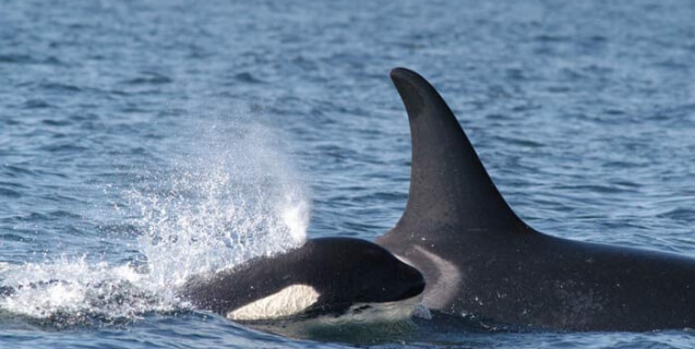 Mother and Baby Orca