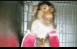 CDC - Monkey with bandaged arms