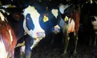 Dairy Farm Exposed in Eyewitness Footage