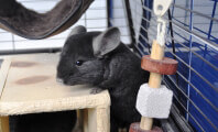 Chinchilla Breeder: 'If They Don't Work Out, I Pelt 'Em'