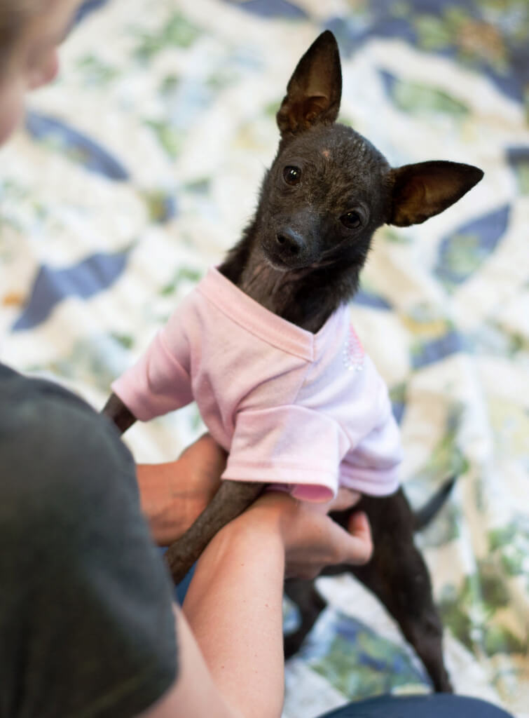 Roussette, a Chihuahua Puppy Available for Adoption