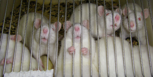 White Rats in Cage, One Holding Bars
