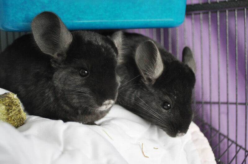Chinchillas Brad and Angie