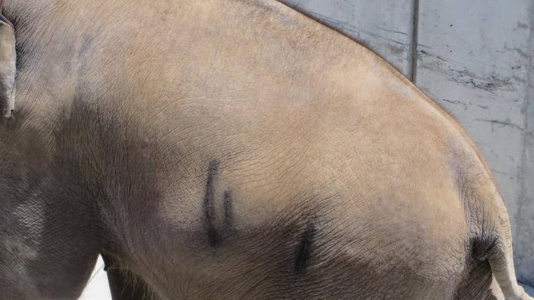 Ringling Bros. Elephant with Abrasions on Side