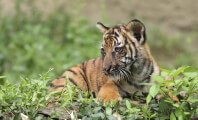 Tiger Cubs Are Not Stuffed Toys
