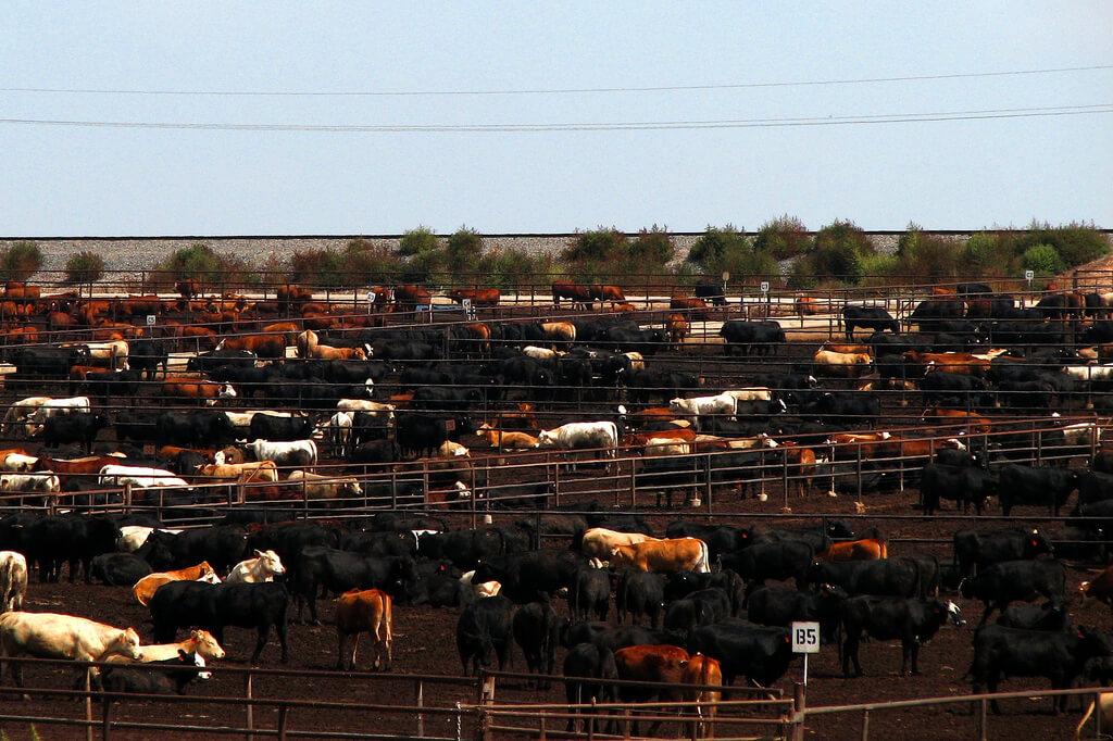 Earth Day, Feedlot, Cows, CAFO
