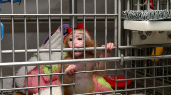 NIH Investigation: Baby Monkey Alone in Cage