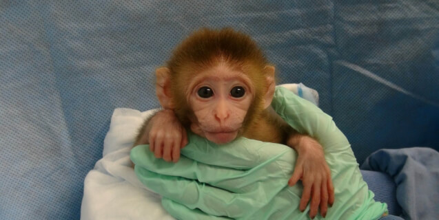 NIH Child Abuse: Experiments on Baby Monkeys Exposed