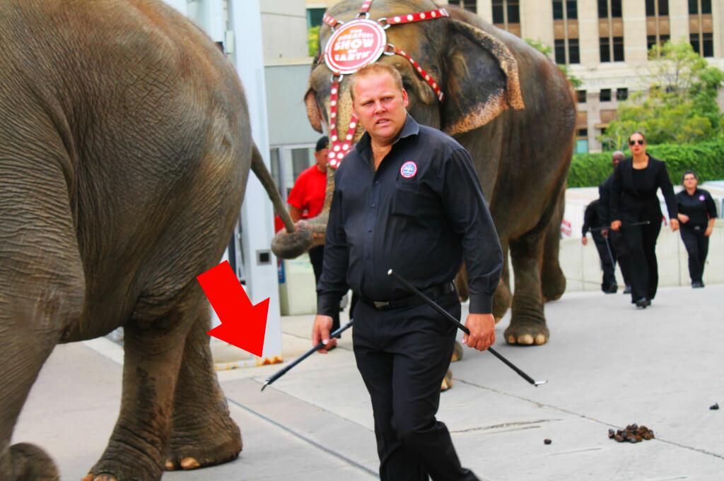 Ringling Elephants with Bullhook