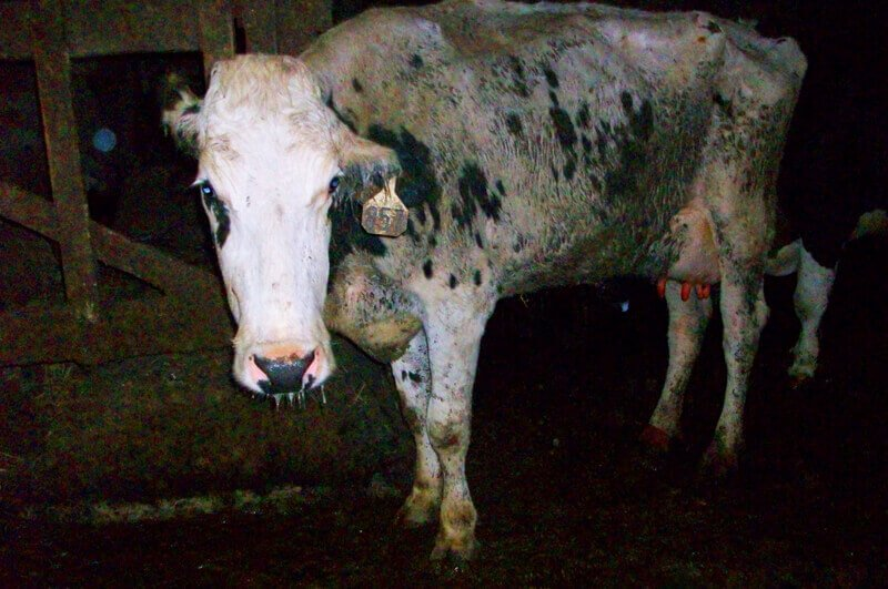 Sad Cow on Factory Farm