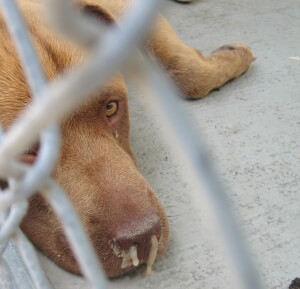 Sick Dog Looking Through Fence
