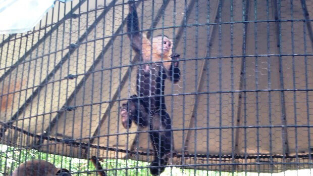Chained Capuchin at Hollywild Animal Park