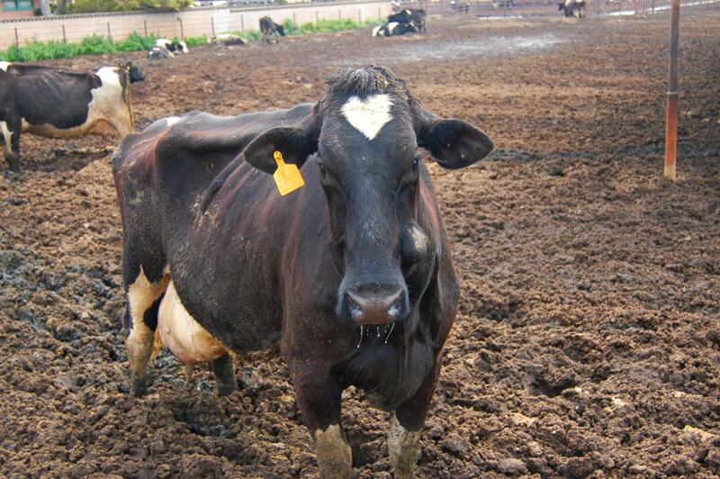 Vaca em Filthy Fábrica Fazenda